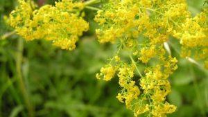 sanziene.flori