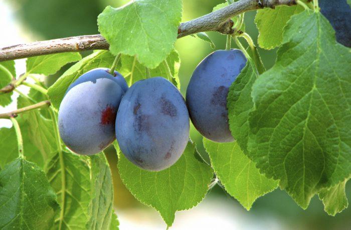 Prunele,  fructe ideale pentru detoxifierea organismului