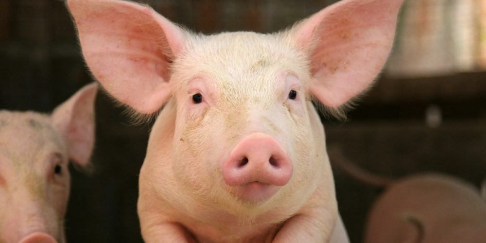 Porcul bate oaia, la preț