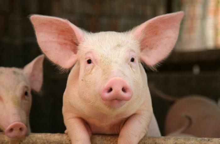 Alege porcul! Porci din rasele Mangalița și Bazna, oferiți gratuit fermierilor