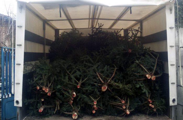 Pomi de Crăciun confiscați de polițiști