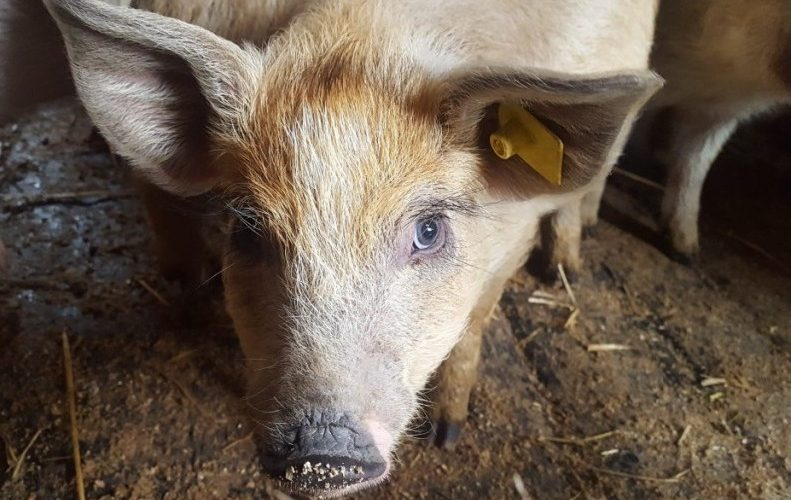 Şeful ANSVSA: 524 de focare de pestă porcină africană în România