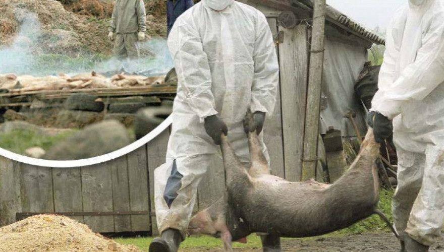 Fermierii acuză: ANSVSA nu a făcut nimic pentru combaterea pestei porcine!