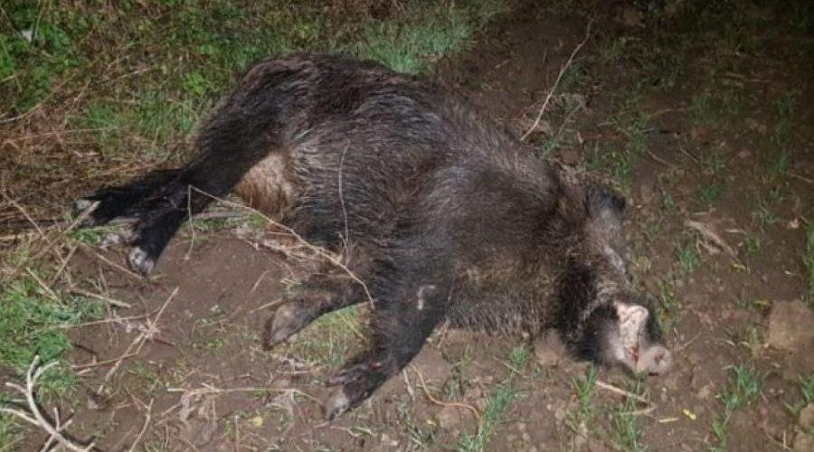 Un mistreţ cu pestă porcină a fost plimbat între Sălaj și Cluj. Anchetă la Protan Dej