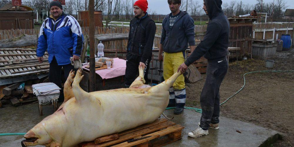 Adio, porc de Crăciun! Creşterea porcilor în gospodării ar putea fi interzisă!