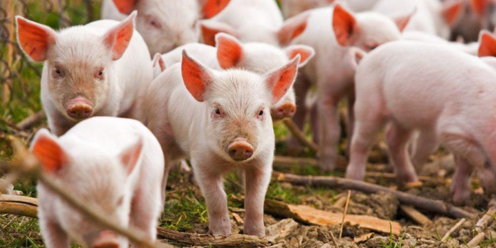 CE a avertizat România de pesta porcină africană în februarie 2017. Ce a făcut ANSVSA?