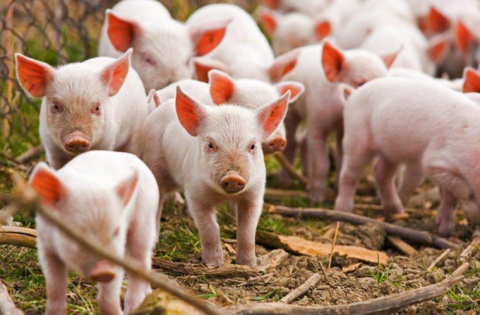 Pesta porcină afectează 140 de localități, din 20 de județe