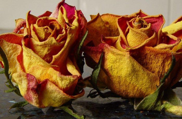 Presa, despre cum se usucă trandafirii…