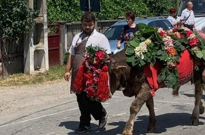 Împănatul boului în satul Mănăstirea