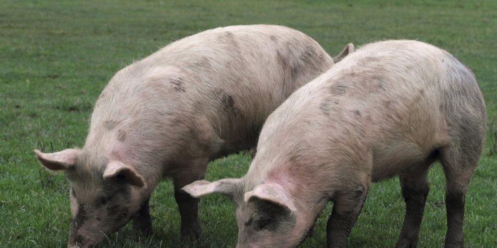Veterinarii susţin că trebuie să se renunţe la creşterea tradiţională a porcilor, pentru eradicarea trichinelozei