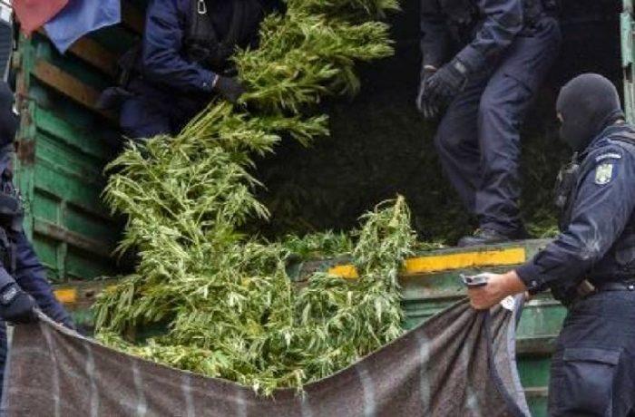 Culturi de cannabis descoperite de polițiști