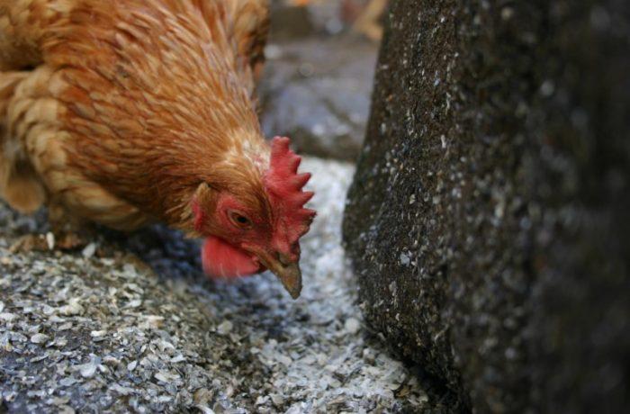 Gripa aviară a ajuns în România. Primul focar, confirmat în Maramureș!