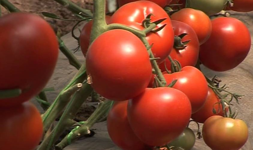 Virusul Tobrev, amenințare pentru culturile de roșii