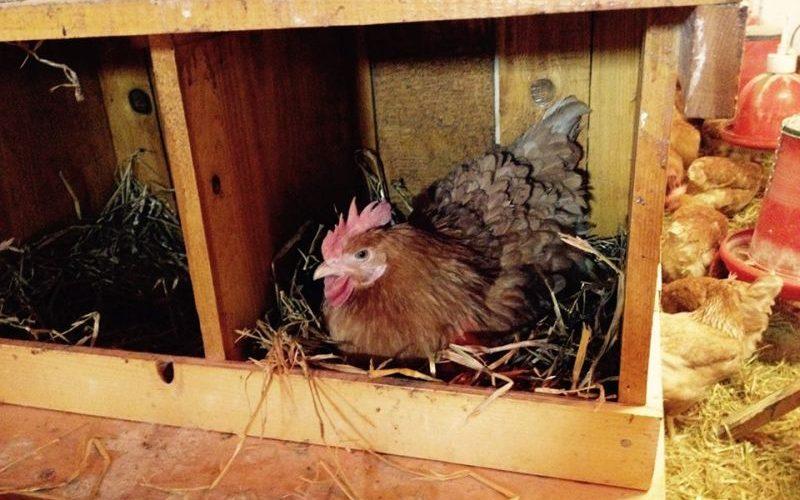 DSV Cluj: măsuri de prevenire a gripei aviare