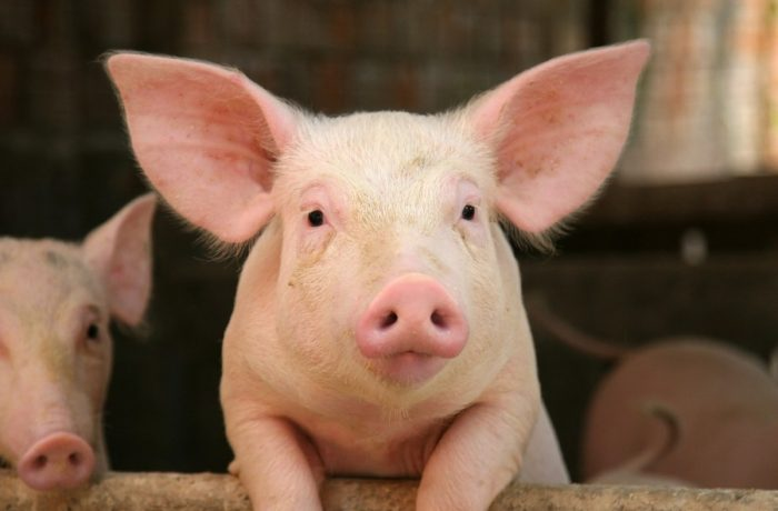 Amenințări  grave de maladii, la porcine și bovine