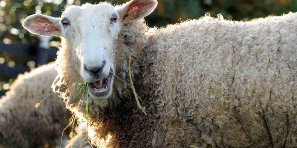 """Oaia """"statuie vie"""", capătă un ban în plus pentru lână"""