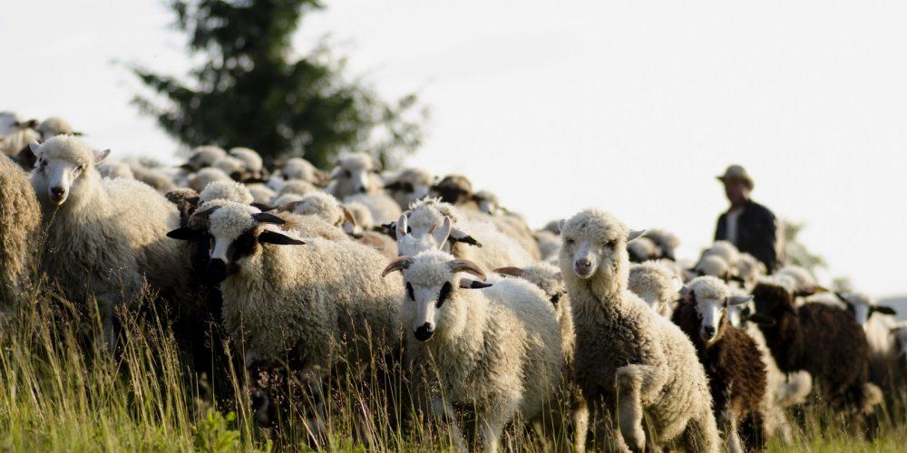 Ajutor pentru crescătorii de ovine. Ca să nu mai ardă lâna, vor primi un leu pe fiecare kilogram vândut!