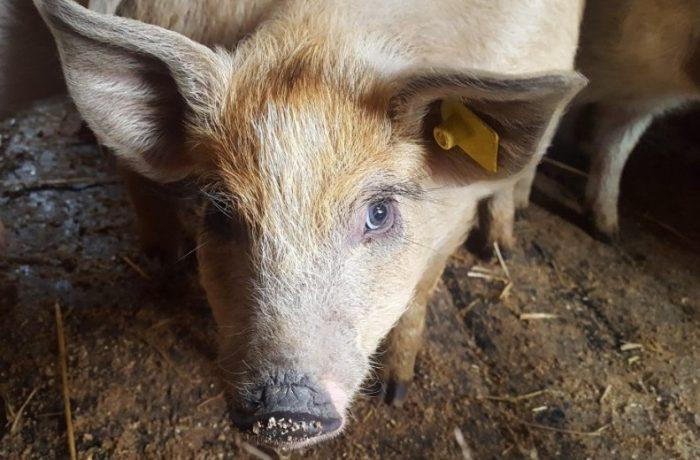 Pesta porcină a ajuns la Chiuiești