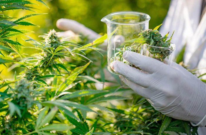Proiect de lege pentru legalizarea canabisului în scop medical