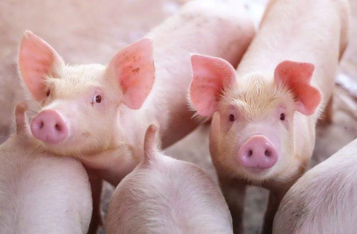 Maxim 5 porci pot fi crescuți în gospodăriile țărănești