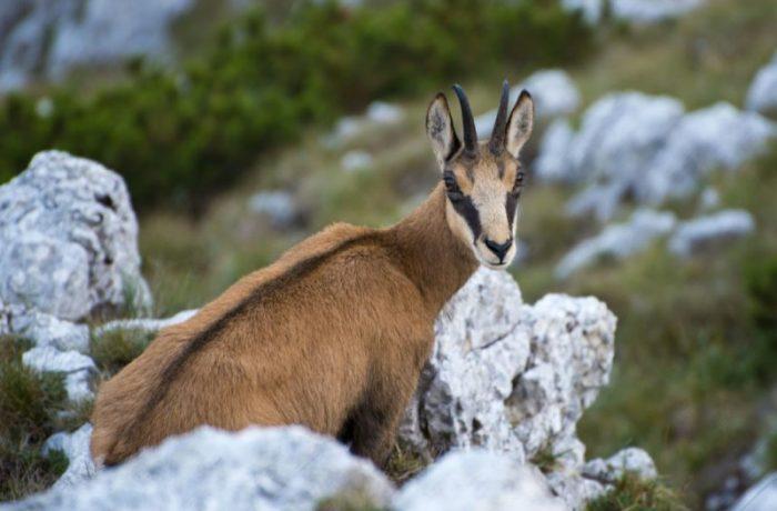 Ciocârlia și capra neagră vor fi protejate, iar vânătoarea celor două specii va fi interzisă!